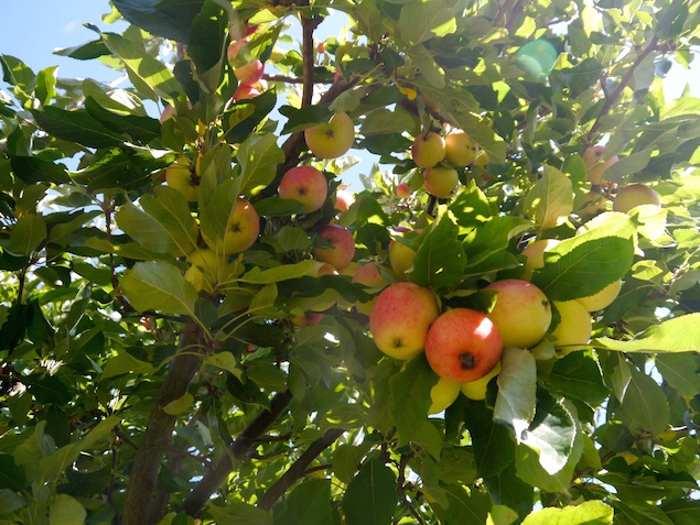Mamma och pappas äppelträd
